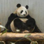 [Japonia] Panda z Ueno Zoo może być w ciąży