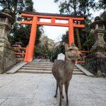 [Japonia] Redukcja populacji jeleni w Narze