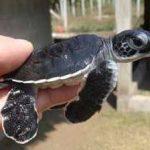 [Japonia] Rzadki gatunek żółwia wykluł się w japońskim akwarium